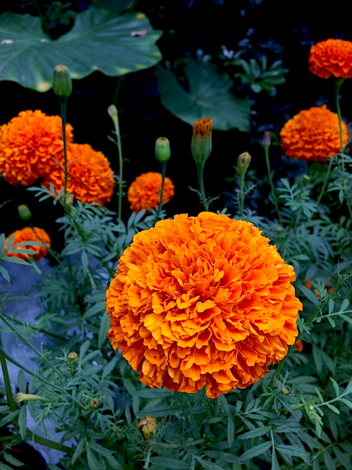 Marigolds: I shall have marigolds too when I have a home.  They are simple but lovely and cheerful.